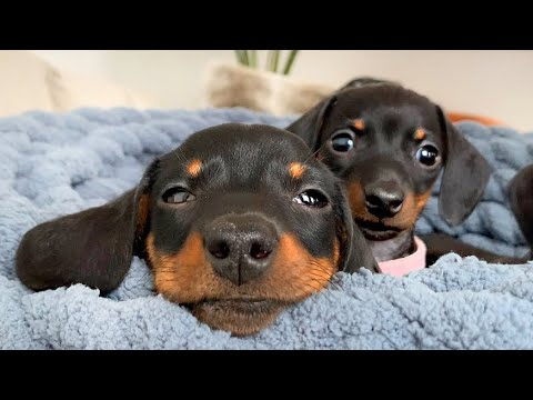 This Dachshund Puppy Is The Biggest Of Them All.