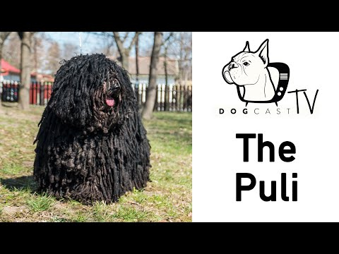 The Puli Dog Breed - DogCastTv S01E02