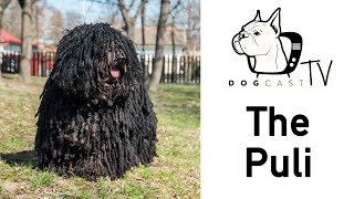 The Puli Dog Breed  DogCastTv