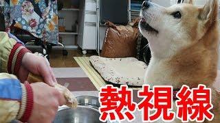 柴犬小春 Talking Dog#2【ASMR】粉チーズをドッグフードに振りかけたらもう大変!