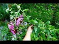 Harvesting and Drying Echinacea and Marshmallow