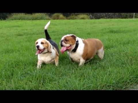 Beagle and Bulldog playing