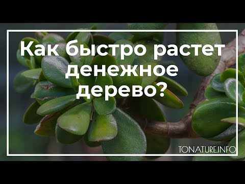 Как быстро растет денежное дерево