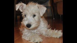 Цвергшнауцер - самая лучшая собака на свете для квартирного содержания.