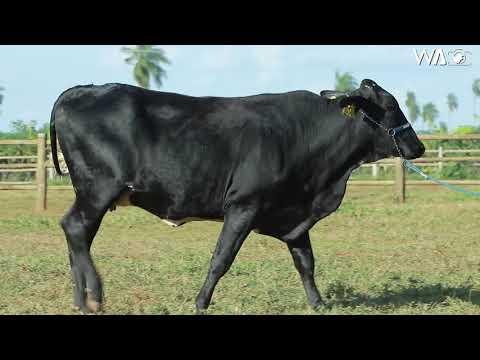LOTE 30 - 5373 BJ - 7º Leilão Gir & Girolando Genética Aditiva