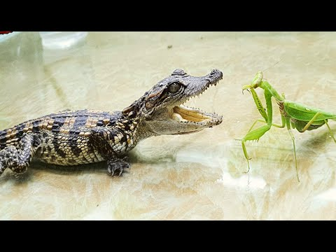 What Would Be Like If PRAYING MANTIS Sees CROCODILE - Insect Stories