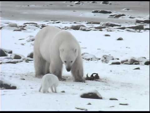 polar bear unwillingly shares breakfast