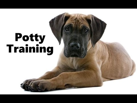 Tips on potty training a great dane puppy uk