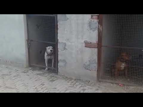 Pitbull in Angry Mood in Cages | Must Watch