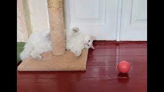 Turkish Angora cat is playing with a ball and claw sharpener