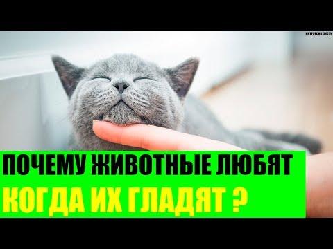 Вопрос: Котам какой породы нравится, когда их гладят против шерсти?