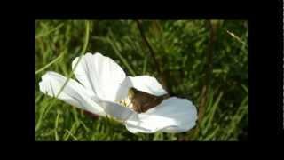コスモスで吸蜜するイチモンジセセリ(2011/10/09 三重・なばなの里)