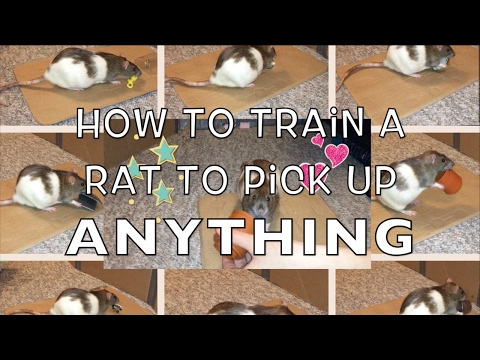 How To Train A Rat To Pick Up Anything