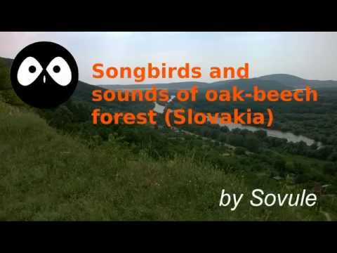 Songbirds and sounds of oak-beech forest (Slovakia)