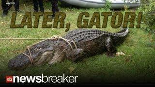 Gator Alert: Huge Alligator Eats 80 Lb Husky