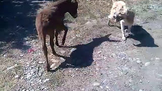 Repeat youtube video Funny Video | Little Donkey Kicked The Dog | They Are Playing Each Other