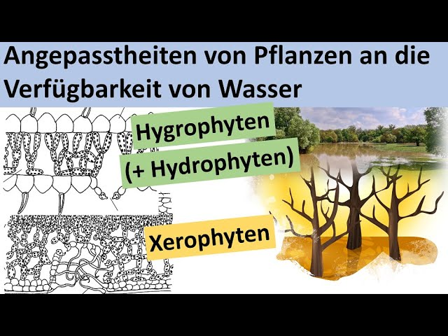 Wasserpflanzen Hydrophyten