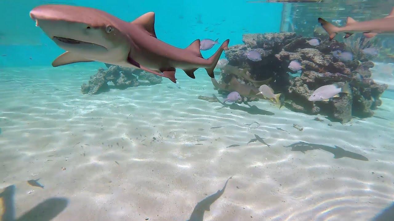 Sharks In St John Virgin Islands