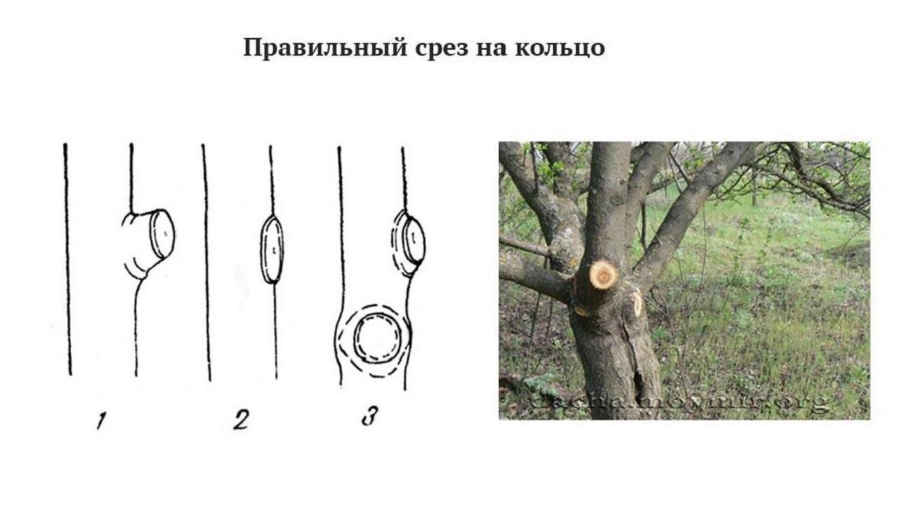 Техники обрезки плодовых деревьев   важнейший принцип формирования кроны  Обрезка на третью почку