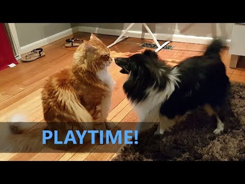 Omar the Maine Coon cat: Playtime! With Rafiki