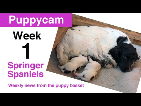 Springer Spaniel Puppies | Meet the pups at 3 days old