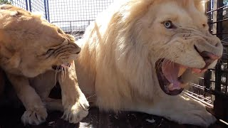 Why Lions Get Grumpy | The Lion Whisperer