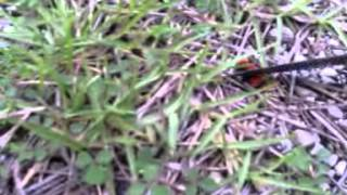 Cow killer/Red Velvet Ant screaming weird noise