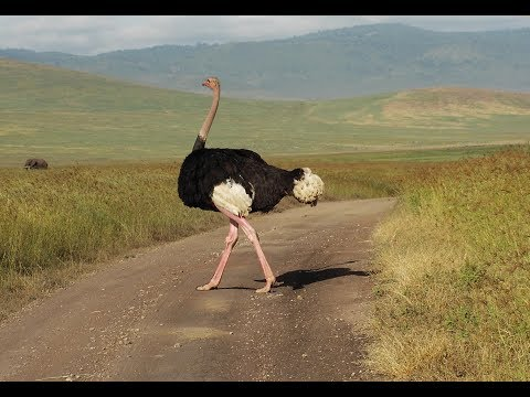 Watch The Tallest,Largest And Strongest Bird -Ostrich