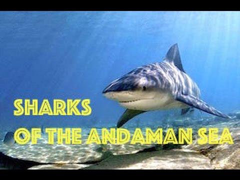 Sharks of the Andaman Sea | Shark Week 2014