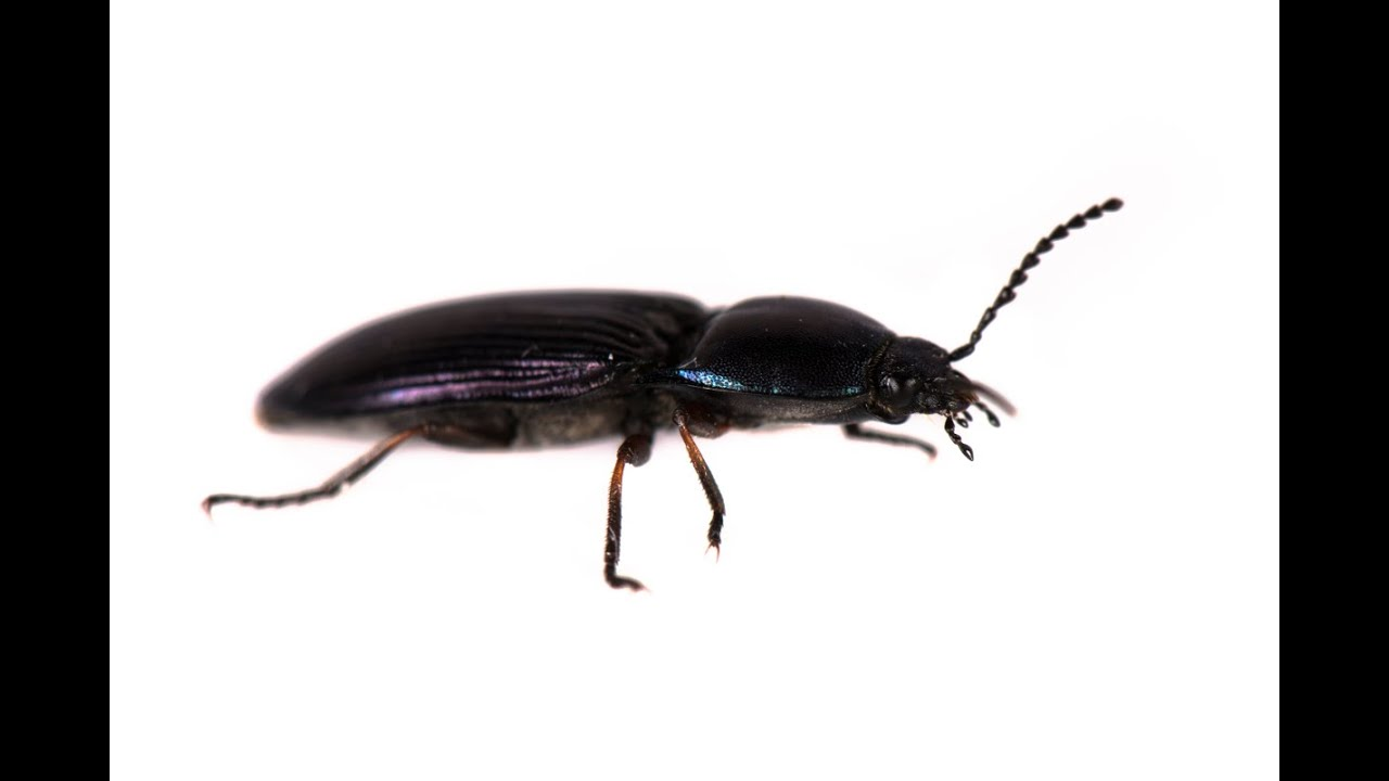 How The Click Beetle Jumps From The Back Youtube