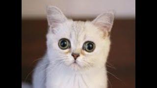 Кеша // Питомник шотландских кошек Безухов (Bezuhov) // Шотландские котята