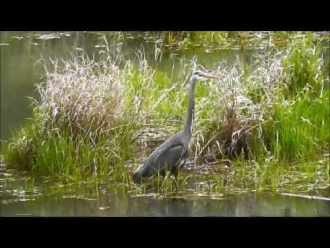 Great Blue Heron (Ardea Herodias), William L. Finley NWR, Oregon, USA