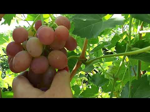 Сорт винограда Ливия. Качество опыления и урожай 2020 года ...