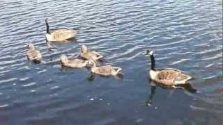 Baby ducks Thumbnail