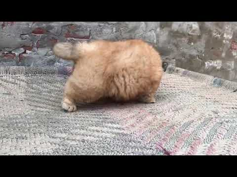 Cute Chow Chow Puppy For Sale