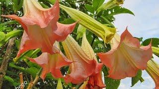 Campana o estramonio, una planta que te droga o noquea al manipularla.