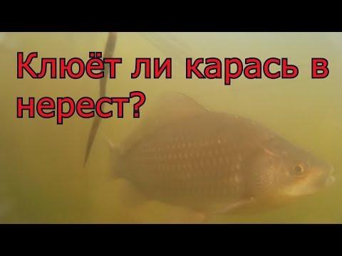 Рыбалка.  Нерест карася. My fishing