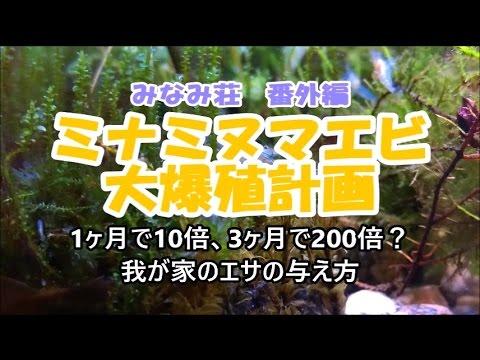 【視聴注意:心霊現象?】【ミナミヌマエビ大爆殖計画】我が家の餌の与え方 Freshwater shrimp breeding/养殖淡水虾