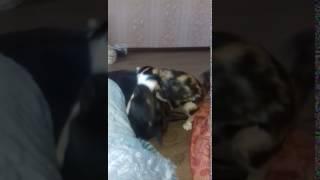 Кошка кидается на собаку