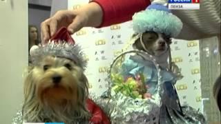 В Пензе собаки чихуахуа выступили в роли Деда Мороза и Снегурочки