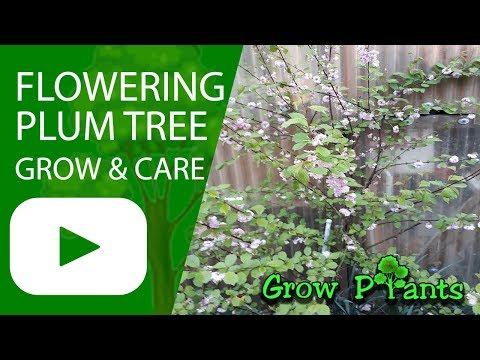 Flowering plum tree – grow & care (Prunus Triloba)