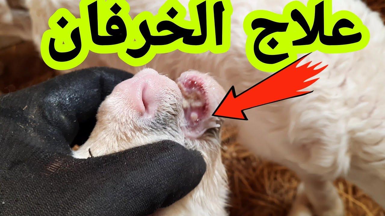 علاج مرض الفم عند الخرفان وبعد الولادة