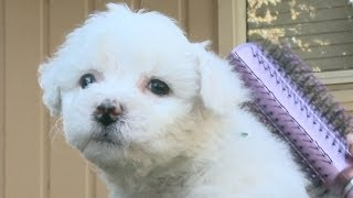 Brushing A Fluffy Bichon Frise Puppy