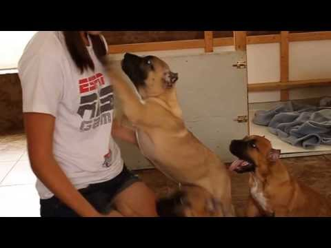 Bravo Kennel Presents New Presa Canario owners sharing their Bravo Kennel Experience (Part 2 of 2)