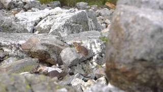 American pika calling in North Cascades