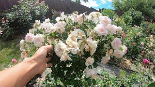 Обрезка роз групп шрабы и флорибунда после первого цветения