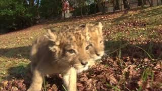 ライオンの赤ちゃんが足元を確かめながら、よちよち歩く姿に癒されます。