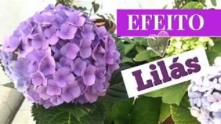 Como deixar a cor das Hortênsia lilás