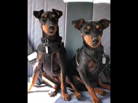 Two ENGLISH TOY TERRIER