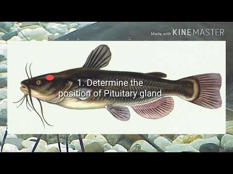 Pituitary Gland Extraction ( Sta2473aquaculture)